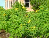 Kegunaan : pohon renek dan hiasan yang boleh tumbuh hingga 6 m